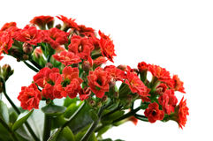Kalanchoe red flowers Royalty Free Stock Photo