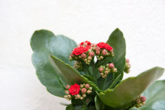 Kalanchoe Royalty Free Stock Image