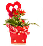 Kalanchoe rojo florece con forma roja del corazón en un pote de cerámica de la flor roja con el arco, fondo blanco, cierre para a Foto de archivo libre de regalías