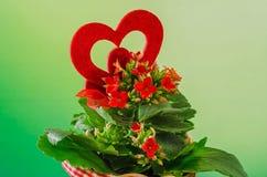 Kalanchoe rojo florece con forma roja del corazón en un pote de cerámica de la flor roja con el arco, fondo verde del degradee, c Foto de archivo libre de regalías
