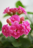 Kalanchoe. A room flower bloomed brightly-pink double colors Royalty Free Stock Images
