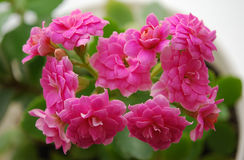 Kalanchoe. A room flower bloomed brightly-pink double colors Stock Photography