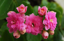 Kalanchoe. A room flower bloomed brightly-pink double colors Royalty Free Stock Photo