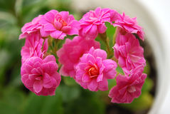 Kalanchoe. A room flower bloomed brightly-pink double colors Stock Images