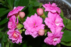 Kalanchoe. A room flower bloomed brightly-pink double colors Royalty Free Stock Photography