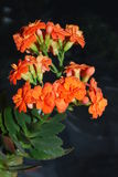 Kalanchoe. A room flower bloomed brightly-pink double colors Stock Image