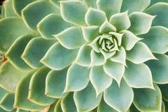 Kalanchoe - ros av öknen Royaltyfria Foton