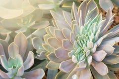 Kalanchoe - Rosa do deserto Imagens de Stock Royalty Free