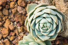 Kalanchoe - Rose of desert Royalty Free Stock Photography