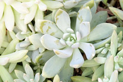 Kalanchoe - Rose of desert Stock Photo