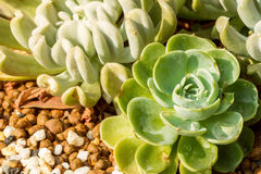 Kalanchoe rose plant Stock Photos