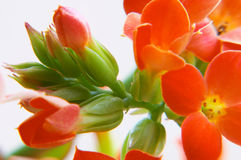 Kalanchoe rosso fotografie stock