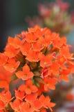 Kalanchoe rosso del fiore Immagini Stock
