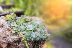Kalanchoe suckulent på stenkrukan Arkivfoto
