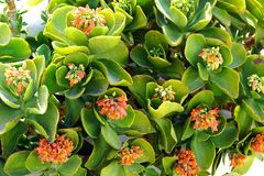 Kalanchoe thyrsiflora is a succulent plant native from Madacascar which produces beautiful flowers stock photos
