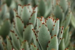 Kalanchoe tomentosa Royalty Free Stock Photography