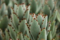 Kalanchoe tomentosa. Or Panda Plant native to Madagascar Royalty Free Stock Photography