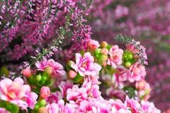 Kalanchoe und Heide im Rosa lizenzfreie stockfotos