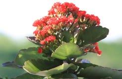 Kalanchoe vermelho Fotos de Stock