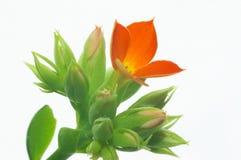 Kalanchoe vermelho #7 Imagens de Stock