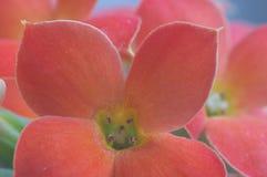 Kalanchoe vermelho - macro extremo Imagem de Stock