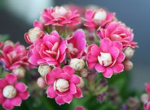 Kalanchoe Stock Photo