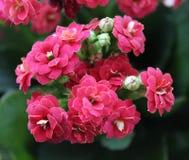 Kalanchoe. A very beautiful, pink Kalanchoe Stock Photo