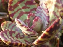Kalanchoe-Wüsten-Überraschung stockfoto