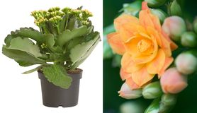 Kalanchoe yellow. (room decorative flowering plant) right - its inflorescence Royalty Free Stock Photos