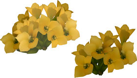 Kalanchoe yellow flowers isolated on white Royalty Free Stock Photography