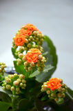 Kalanchoe Stock Photos