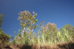 Kalanjana草围拢的柚木树树 免版税库存图片