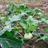 Kalarep narastające rośliny Zdjęcia Stock