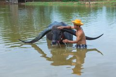 Cattleman without shirt bathing buffalo. Kalasin, Thailand - May 21, 2016: Cattleman without shirt bathing buffalo with extra long horns in rural swamp in royalty free stock photo