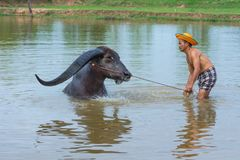 Cattleman without shirt bathing buffalo. Kalasin, Thailand - May 21, 2016: Cattleman without shirt bathing buffalo with extra long horns in rural swamp in stock photography