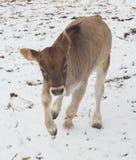 Kalb, das im Schnee spielt Stockfoto