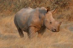 Kalb des weißen Nashorns steht in der Steppe bei Sonnenuntergang stockbilder
