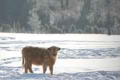 Kalb im verschneiten Winter stockfotos