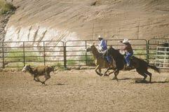 Kalb roping Stockfotos