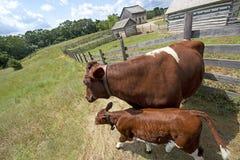 Kalb und Kuh auf alter rustikaler Wisconsin-Molkerei Lizenzfreies Stockfoto