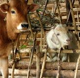Kalb und Ziege Lizenzfreies Stockfoto