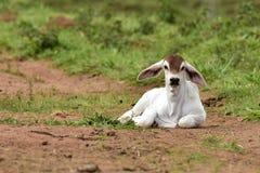 Kalb von Zebuzucht, liegend in einer Weide in Brasilien Stockfotografie
