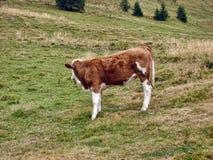 Kalbfleisch auf dem Berg Stockfoto