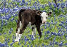 Kalbstellung auf einem Gebiet von Bluebonnets entlang der Bluebonnet-Spur in Ennis, Texas stockfotografie
