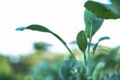 Kale και φυτικός κήπος Στοκ φωτογραφία με δικαίωμα ελεύθερης χρήσης