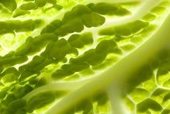 kale минимальный Стоковые Фото