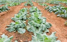 Kale Fotografia de Stock Royalty Free