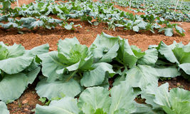 Kale Стоковое фото RF