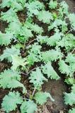 Kale Obrazy Royalty Free