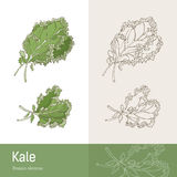 kale иллюстрация вектора